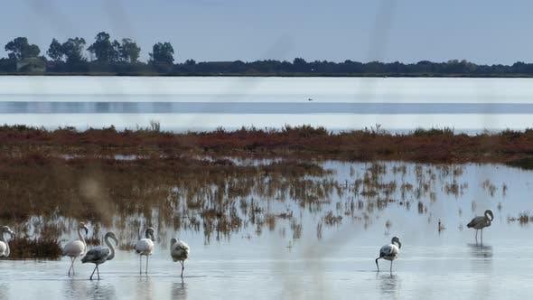 Thumbnail for Group flamingos walking around the wetlands
