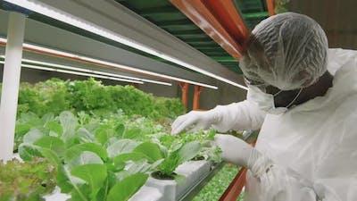 Male Agroengineer Examining Seedlings In Pots