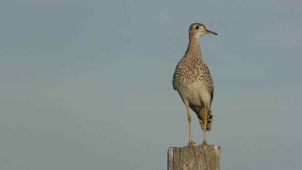 Thumbnail for Upland Plover Sandpiper Bird Calling Communicating Chattering on Fence Post