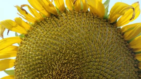 Thumbnail for In der Nähe der Sonnenblume beim Schwenken nach unten