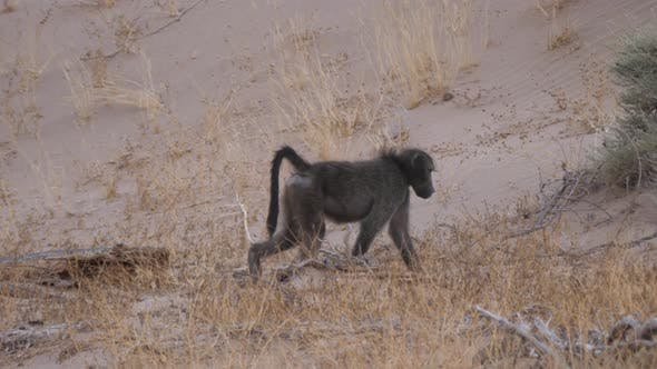 Baboon walking on the savanna around Purros in Namibia