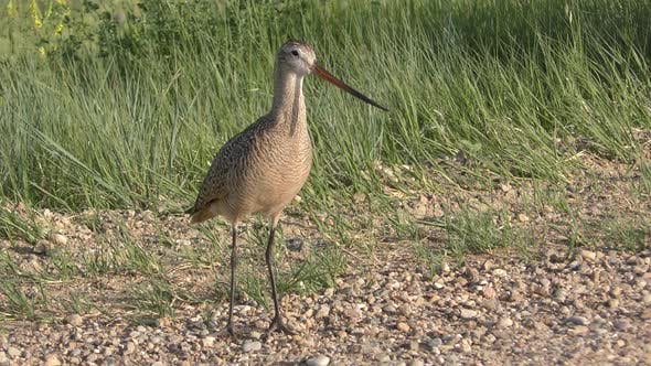 Cover Image for Marbled Godwit Bird Calling Alarm Call in Spring in South Dakota with Sound