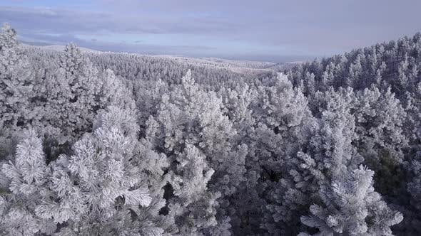 Forest Black Hills in Winter Trees Canopy in South Dakota