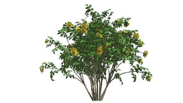Buisson de roses jaunes