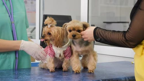 Yorkshire Terriers are on Examination at Clinic