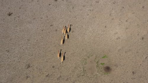 Bird eye view of a small group of lamas of vicunas moving towards the animals