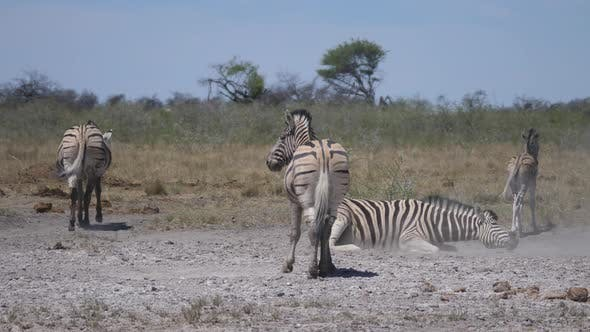 Thumbnail for Zebra Rolling in dust of the African Savanna
