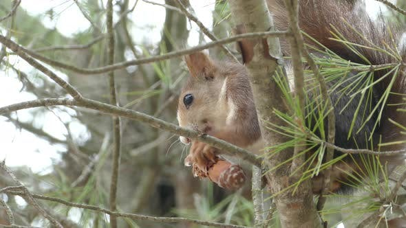 Thumbnail for Squirrel in a tree eating a pinecone