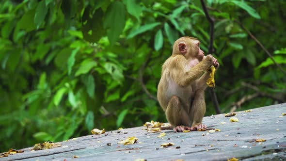 Thumbnail for Monkey eating the banana