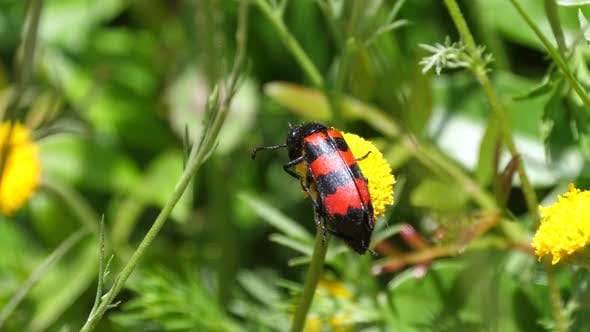 Cover Image for Black-And-Red-Bug on A Common Dandelion