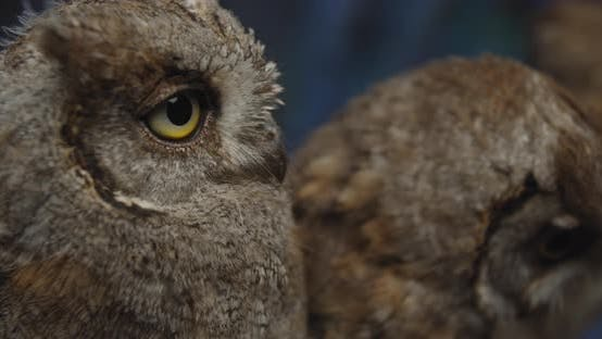 Thumbnail for Close Up of the Beautiful Owls with Big Eyes, Gorgeous Wild Birds,
