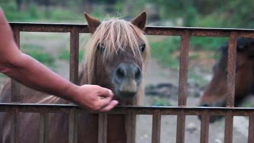 Man Feeding Pony at the Farm
