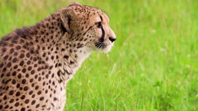 Cheetah on Grassy Field in Forest
