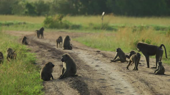 A troop of baboons