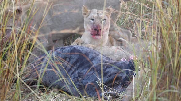 Lion eating from a wildebeest