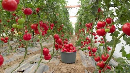 Tomato Plants are in Greenhouse