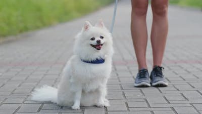 Pomeranian go out with pet owner
