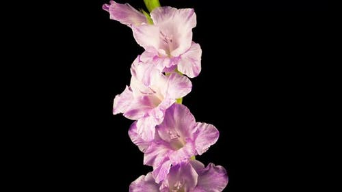 Time lapse of Opening Purple Gladiolus Flower