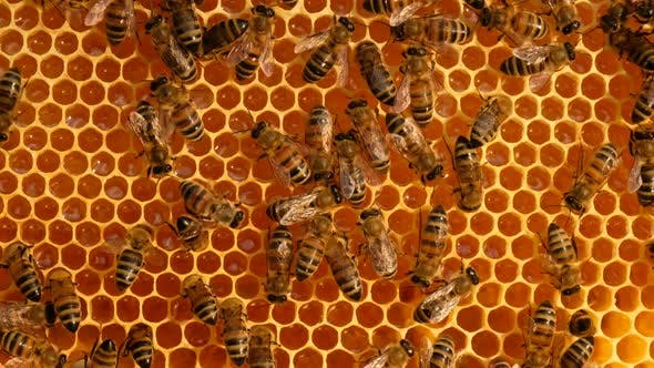 Thumbnail for Work bees in hive.  Bees convert nectar into honey and cover it in honeycombs.