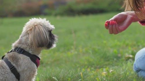 Besitzer gibt flauschigen Shih-Tzu-Hund Leckerbissen, der um Trick bittet