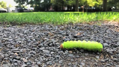 Caterpillar Crawling on the Ground