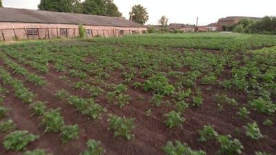 Potatoes planted in garden