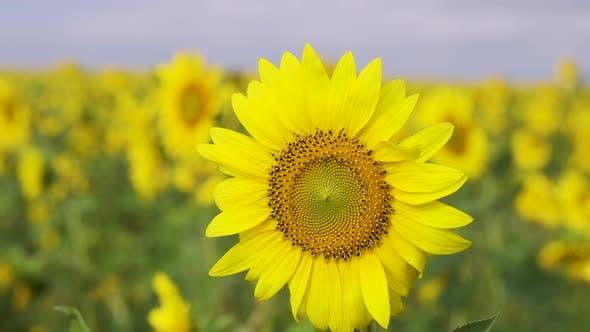 Sunflower Sun Summer Season Plant Nature Plants on Earth Energy Sources and Sky Sunflower Fields