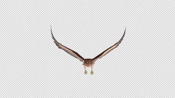 Red Tail Hawk - 4K Flying Loop - Front View