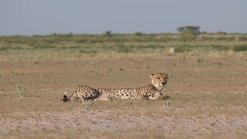 Cheetah waking up on the savanna of the Central Kalahari Game Reserve