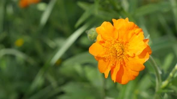 Thumbnail for Orange Calendula officinalis Common Marigold flower shallow DOF 4K 2160p 30fps UltraHD footage - Eng