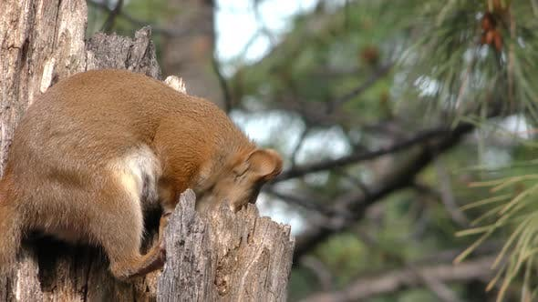 Thumbnail for Red Squirrel Female Adult Lone Alarmed Nervous Wary in Summer in South Dakota
