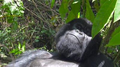 Mountain Gorilla in Forest
