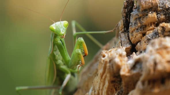 Thumbnail for The Insect Green Mantis Sits on Tree Trunk