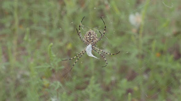 Spider Sits on a Web. Crimean Spider Argiope Lobate. Spider Stores Food.