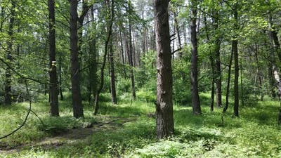 Trees in the Forest By Summer Day