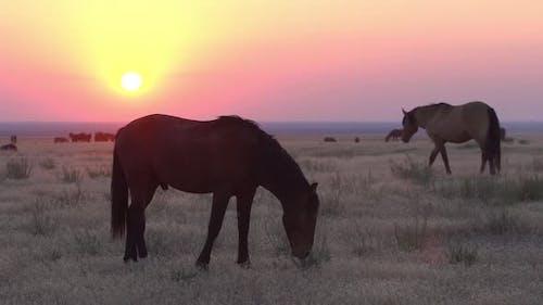 Wild Horse Hengst lächelt bei Sonnenuntergang