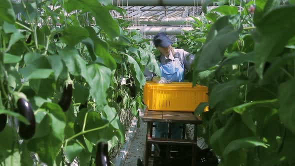 Thumbnail for Employee Industrial Scissors Cuts Greenhouse Plants Eggplants