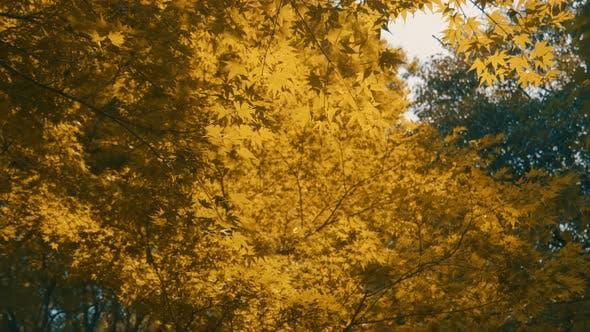 Thumbnail for Maple Tree Autumn