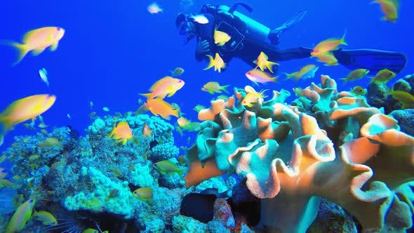 Thumbnail for Tropical Fish Coral Reef and A Diver