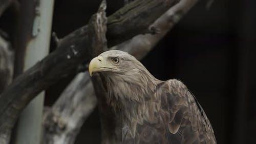 Eagle Golden Eagle sitzend auf einem Zweig