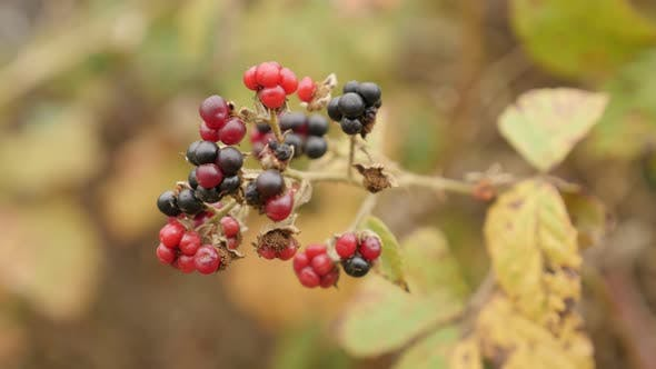 Thumbnail for Shallow DOF Rubus fruticosus  fruit 4K 2160p 30fps UltraHD footage - European blackberry bramble clo