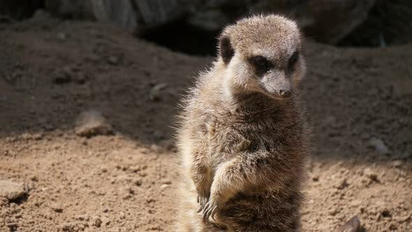 Cover Image for Jolly Meerkat Standing and Turning Its Head in a Zoo on a Sunny Day in Summer