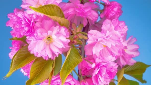 Rosa Sakura Baum Blumen