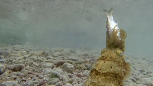 Underwater Pharaoh Cuttlefish Hunting Fish