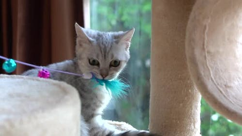 Cute Scottish Cat Playing Feather Toy On Cat Tower