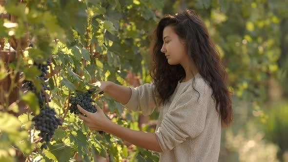 Thumbnail for Young Woman Picking Grapes on the Vineyard During the Vine Harvest on Sunny Autumn Day
