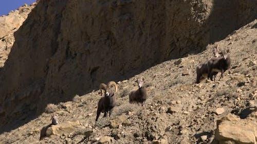 Rocky Mountain Bighorn Sheep Rams and Ewes walking through the desert