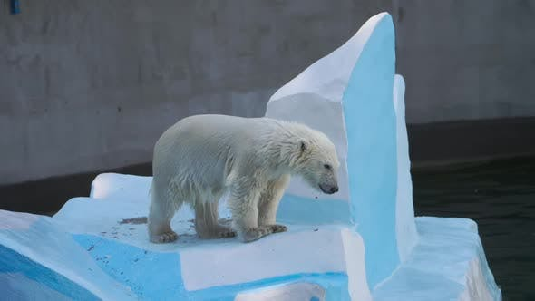 Cover Image for Polar Bear Cub Playing in Water