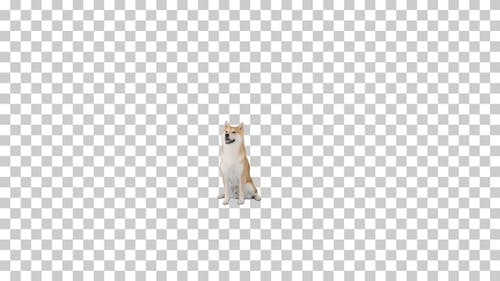 Japanese Shiba Inu dog sitting, Alpha Channel
