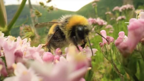 Thumbnail for Bumblebee Collects Nectar from the Flower